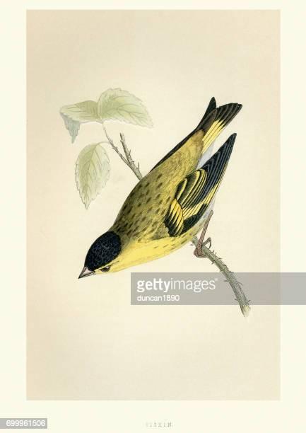 ilustrações, clipart, desenhos animados e ícones de história natural - aves - lugre - pintura de belas artes
