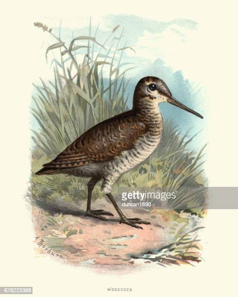Natural History - Birds - Eurasian woodcock