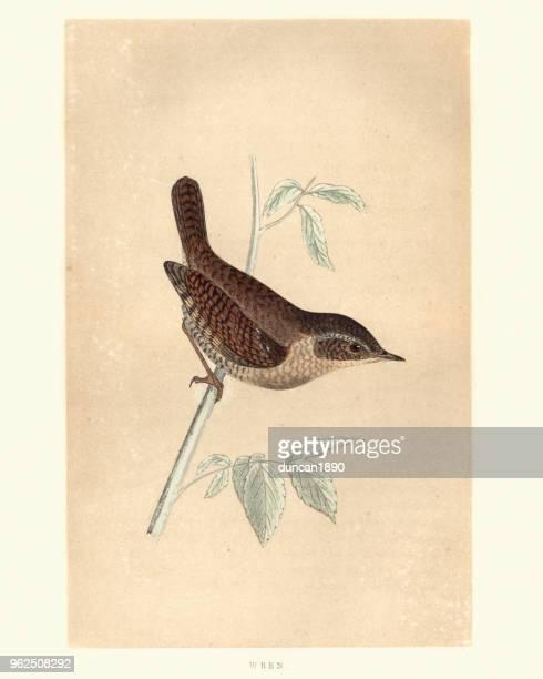 ilustrações, clipart, desenhos animados e ícones de história natural, aves, eurasian carriça (troglodytes troglodytes) - pintura de belas artes