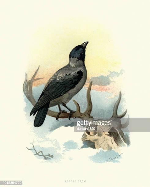 natural history, birds, hooded crow (corvus cornix) - scavenging stock illustrations