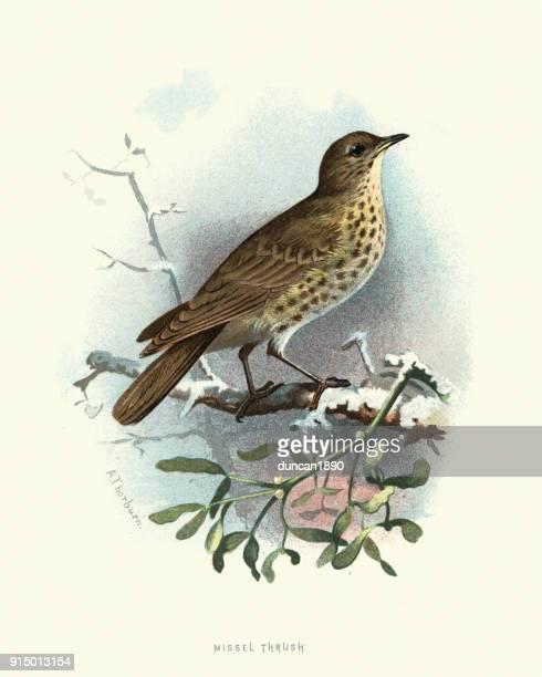 illustrazioni stock, clip art, cartoni animati e icone di tendenza di storia naturale, uccelli, mughetto vischio - tordo bottaccio