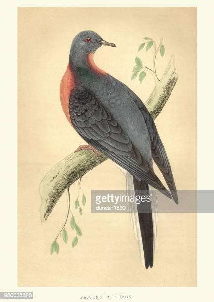 ilustraciones, imágenes clip art, dibujos animados e iconos de stock de historia natural, aves, pasajero paloma (migratorius migratorius) - animal extinto