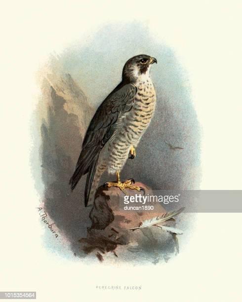 natural history, birds, peregrine falcon (falco peregrinus) - falcons stock illustrations, clip art, cartoons, & icons