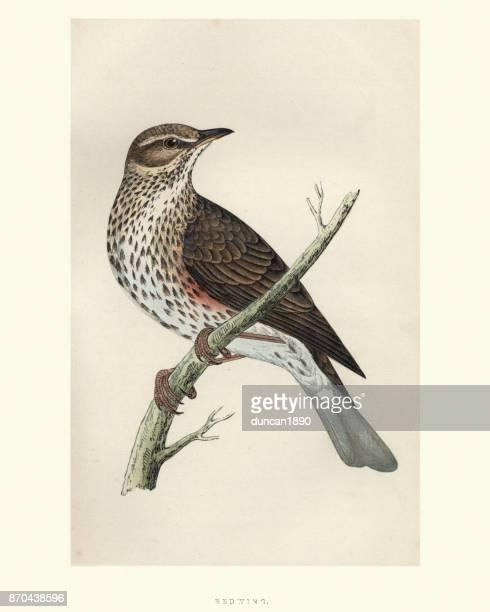 illustrazioni stock, clip art, cartoni animati e icone di tendenza di storia naturale, uccelli, ala rossa (turdus iliacus) - tordo bottaccio