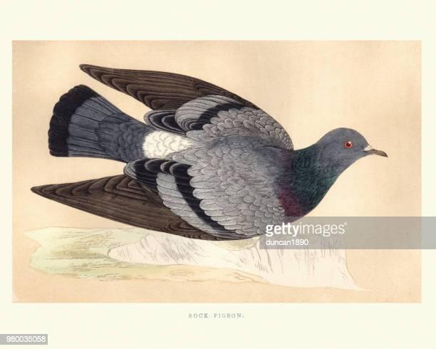 illustrations, cliparts, dessins animés et icônes de histoire naturelle, oiseaux, pigeon biset (columba livia) - colombe