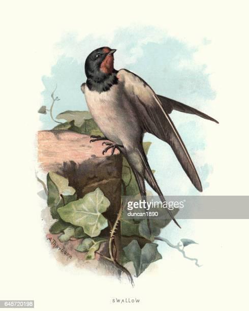 illustrations, cliparts, dessins animés et icônes de histoire naturelle - oiseaux - hirondelle - hirondelle