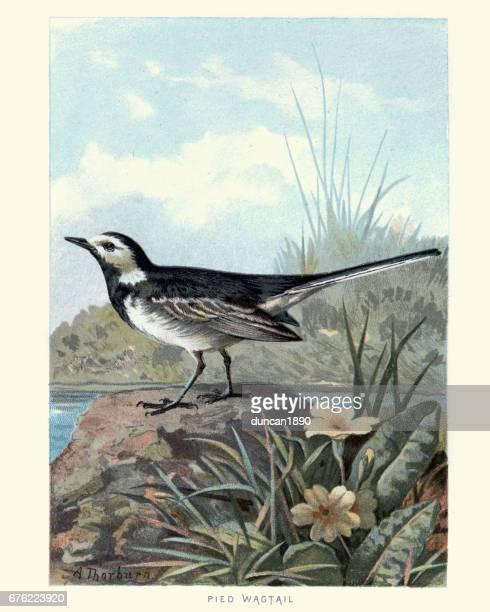Natural History - Birds - White wagtail
