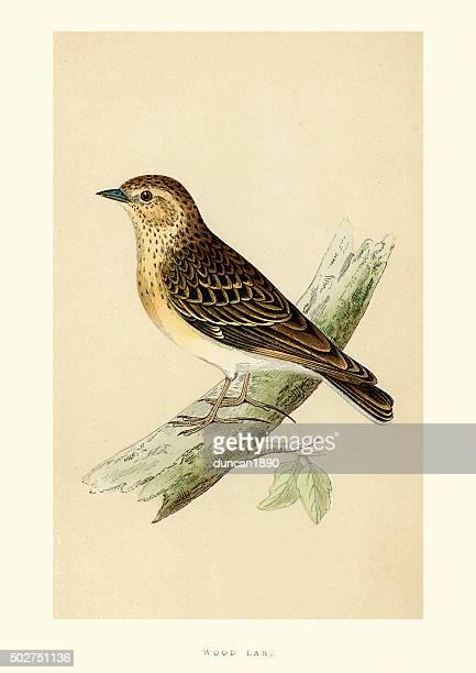 Natural History - Birds - Woodlark