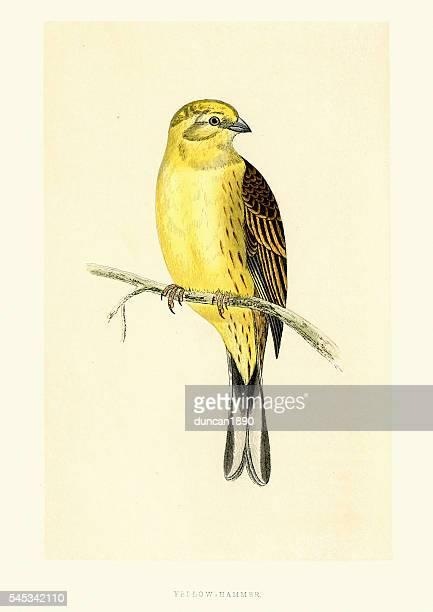 Natural History Birds - Yellowhammer (Emberiza citrinella)