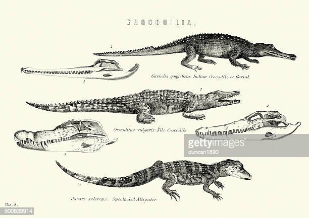 natural history - crocodilia - gavial, nile crocodile, spectacle - alligator stock illustrations, clip art, cartoons, & icons