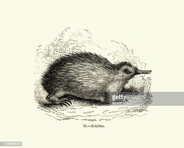natural history, echidna, spiny anteaters - echidna stock illustrations