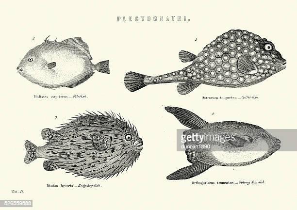 ilustraciones, imágenes clip art, dibujos animados e iconos de stock de historia natural de pescado-plectognathi - pez luna pez