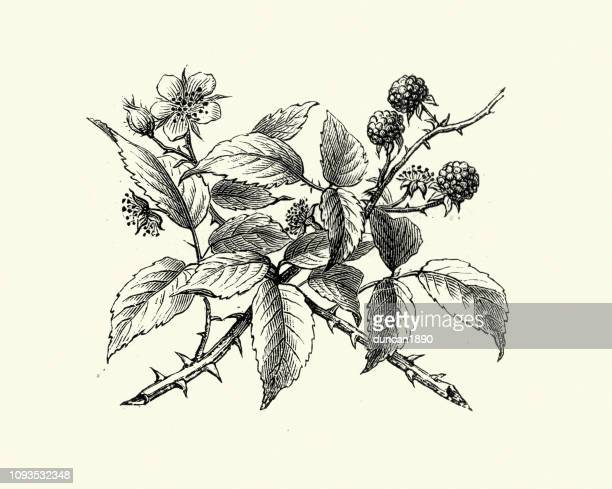 Natural history, Flora, Bramble, Flower and Berry