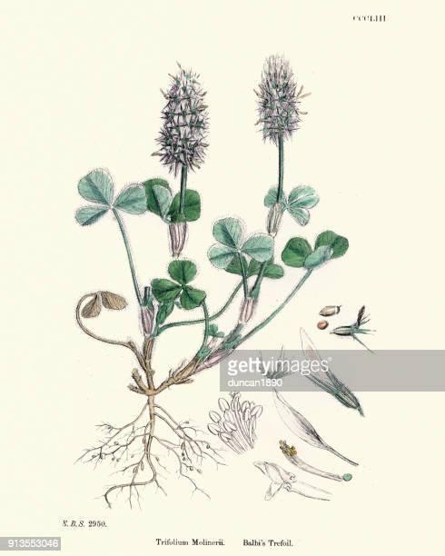 ilustrações, clipart, desenhos animados e ícones de história natural, flora, trifolium molinerii, trevo do balbi - biologia