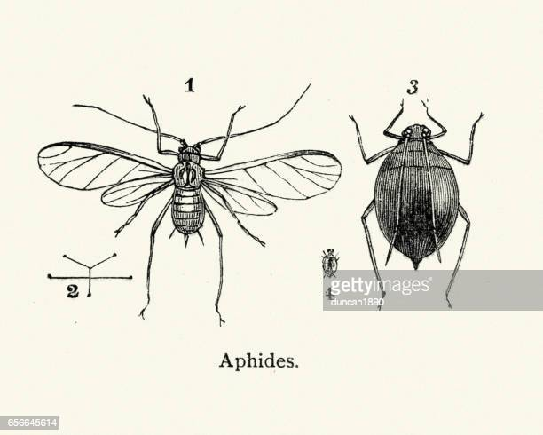 natural history - insects - aphids - aphid stock illustrations