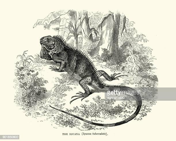 ilustraciones, imágenes clip art, dibujos animados e iconos de stock de historia natural - lagartos - iguanas - iguana