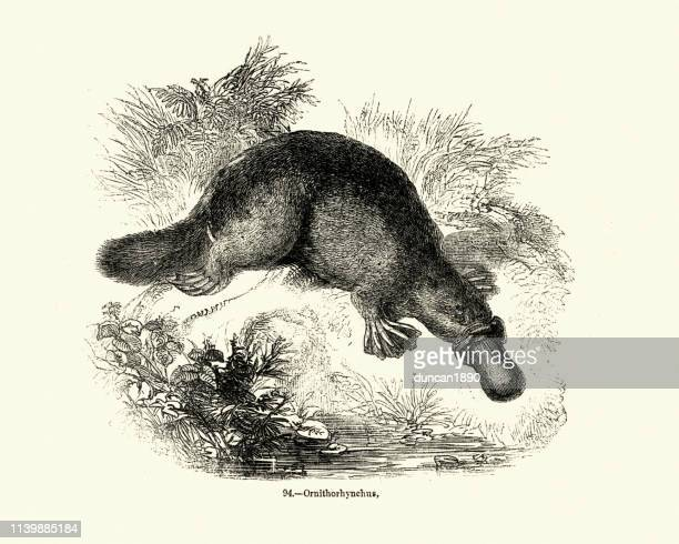 natural history, mammals, platypus (ornithorhynchus anatinus) - duck billed platypus stock illustrations