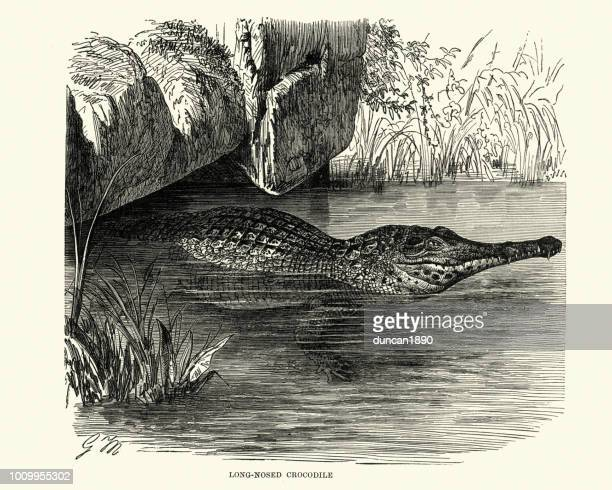 illustrations, cliparts, dessins animés et icônes de histoire naturelle, reptiles, crocodile au long nez - crocodile
