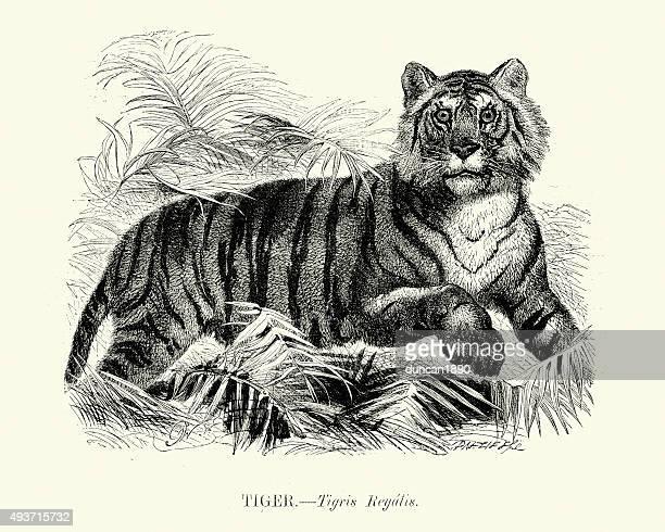 ilustrações, clipart, desenhos animados e ícones de história natural-tigre - zoologia