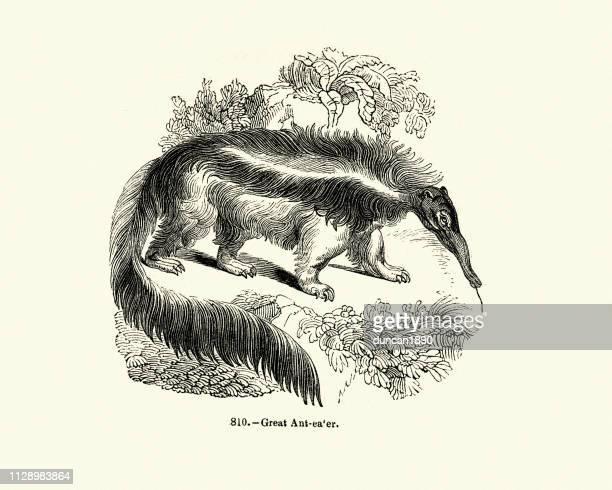 nature, giant anteater (myrmecophaga tridactyla) - giant anteater stock illustrations