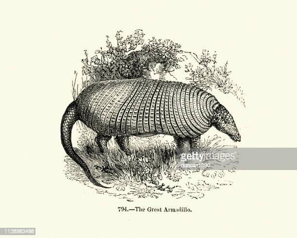 Nature, giant armadillo (Priodontes maximus)