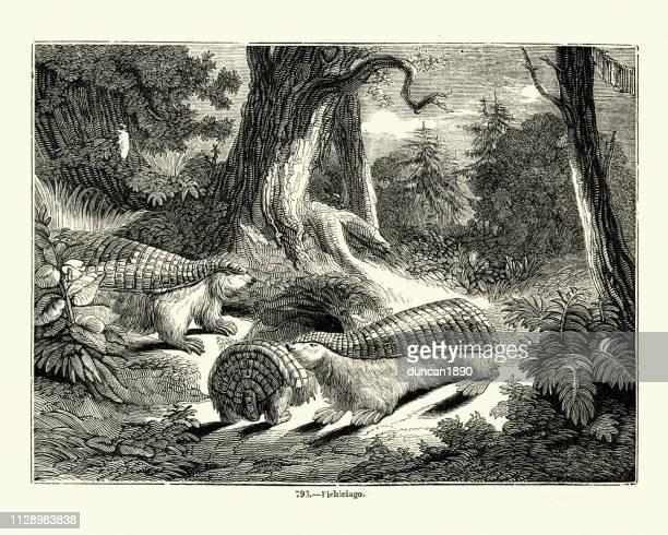 Nature, pink fairy armadillo (Chlamyphorus truncatus)