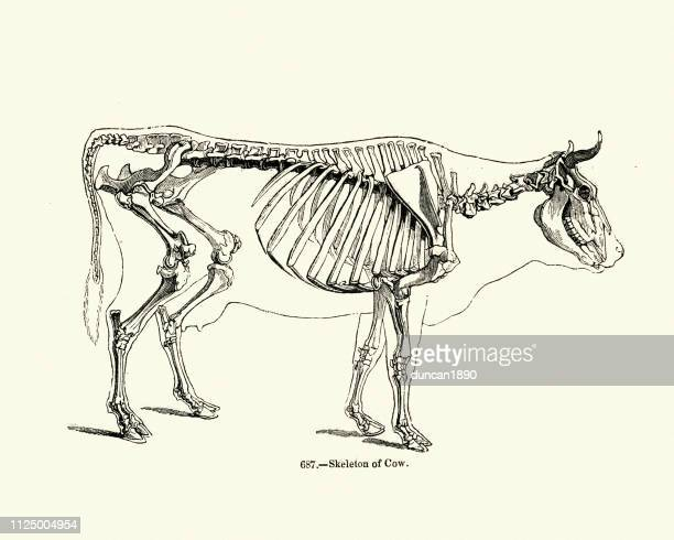 nature, skeletion of a cow, 19th century engraving - animal skeleton stock illustrations, clip art, cartoons, & icons