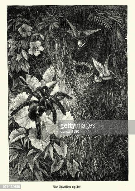 stockillustraties, clipart, cartoons en iconen met natuur, spinnen, braziliaans zwerven spin jacht - braziliaanse zwerfspin