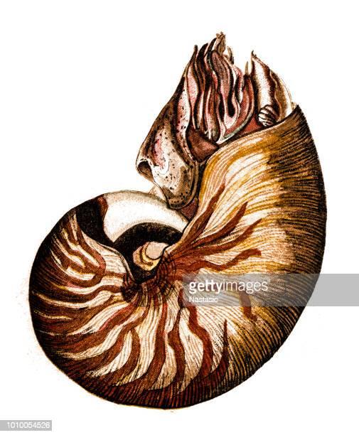 nautilus belauensis, also known as the palau nautilus - nautilus stock illustrations