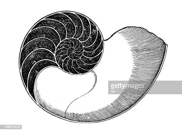 nautilus - nautilus stock illustrations