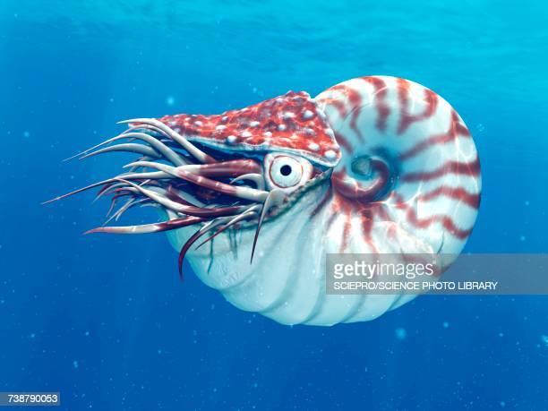 nautilus, illustration - nautilus stock illustrations