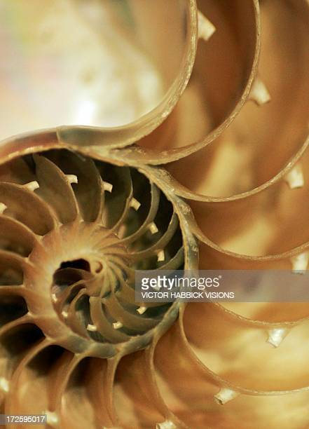 nautilus shell - intricacy stock illustrations