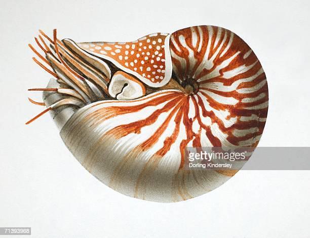 Nautilus, side view.