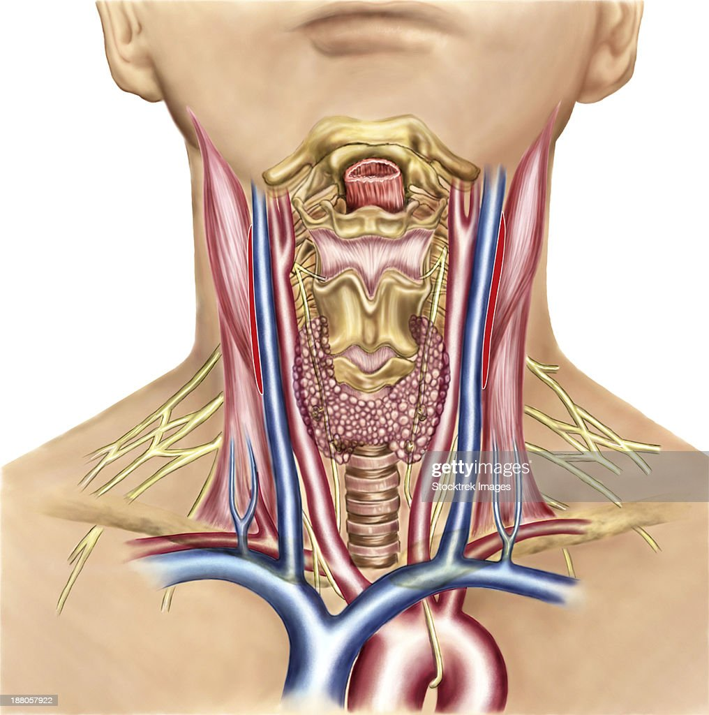 Neck Anatomy Showing Arteries Of Pharyngeal Region And Thyroid ...