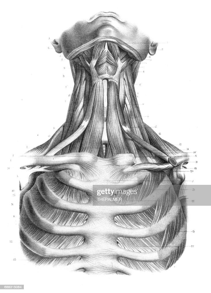 Neck Throat Anatomy Engraving 1866 Stock Illustration | Getty Images