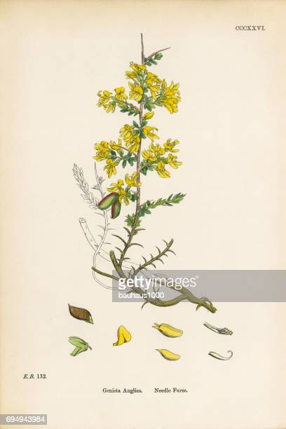 needle furze, genista anglica, victorian botanical illustration, 1863 - plant stage stock illustrations, clip art, cartoons, & icons