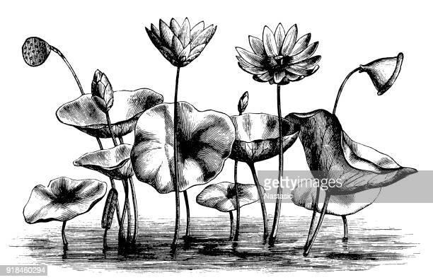ilustrações, clipart, desenhos animados e ícones de nelumbo lutea (american lótus, lótus amarelo, chinquapin de água) - organismo aquático