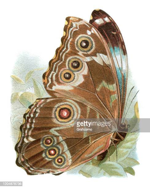 neotropical butterfly morpho neoptolemus - graphic print stock illustrations