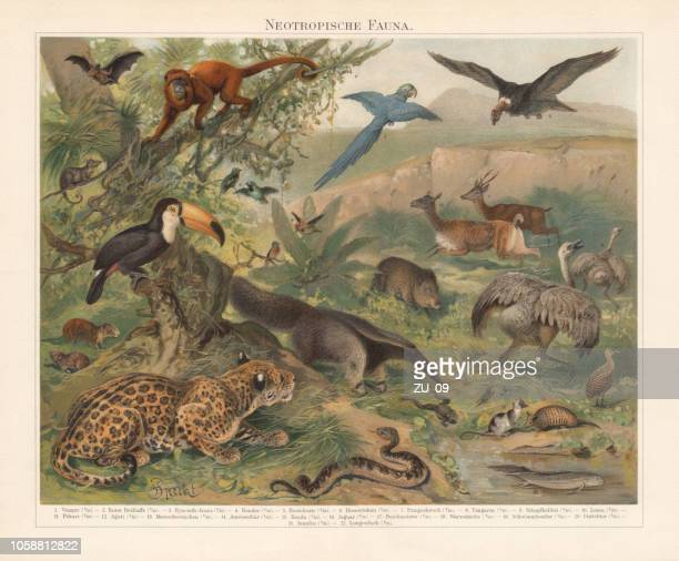 neotropical realm (wildlife of central and south america), published 1897 - mammal stock illustrations
