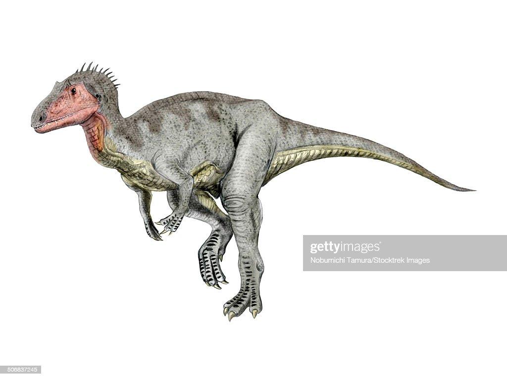 Neovenator dinosaur, white background. : stock illustration