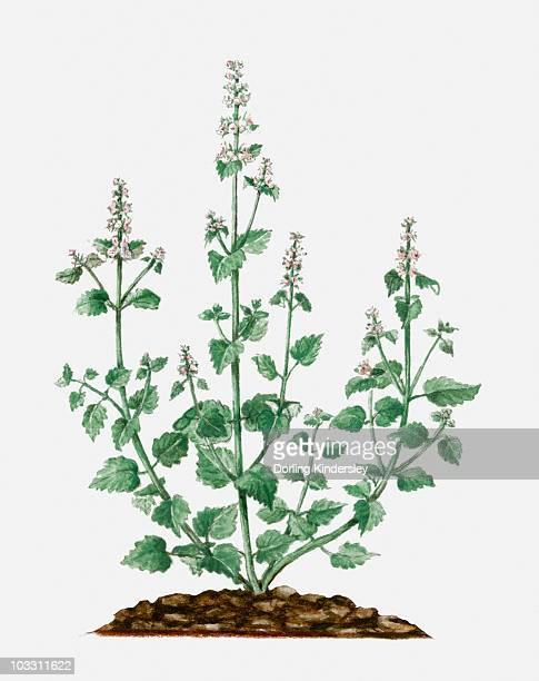 nepeta cataria (catmint) with small white flowers and green leaves on tall stems - catmint stock illustrations