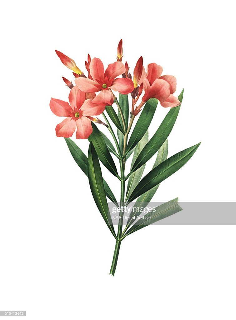 nerium oleander redoute flower illustrations stock illustration