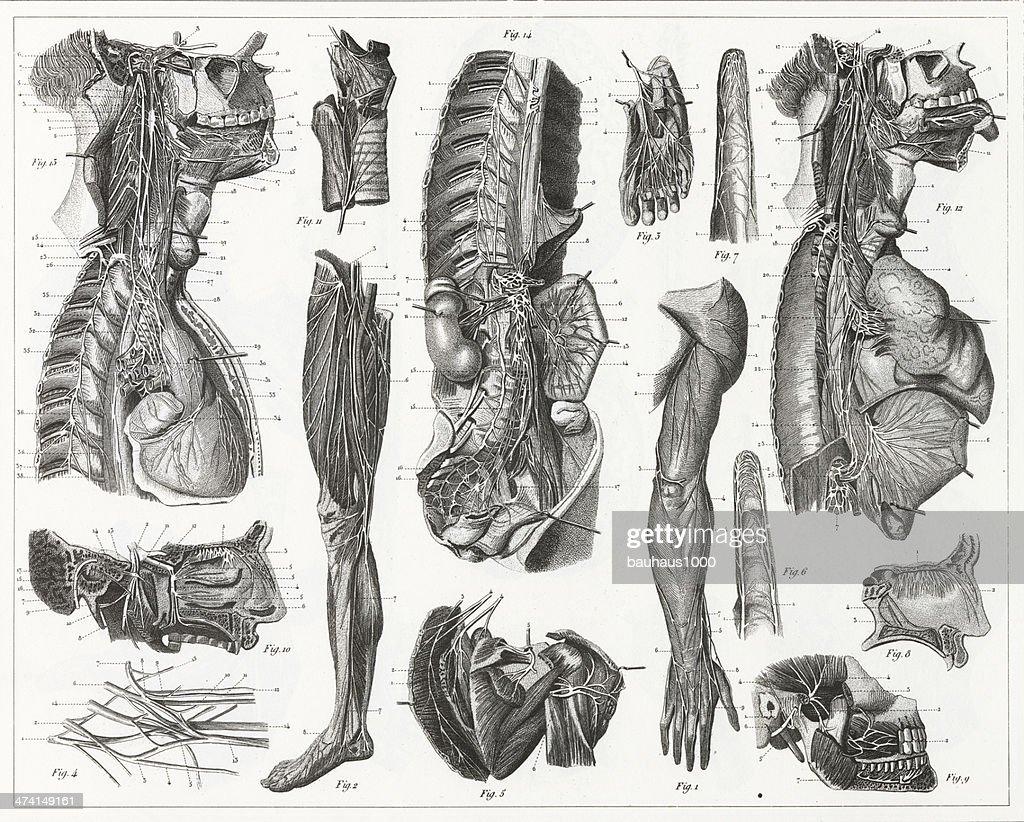 Nerve Anatomy Engraving Stock Illustration | Getty Images
