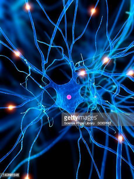 nerve cell, artwork - physiology stock illustrations