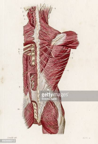 Nerves of the back anatomy engraving 1886