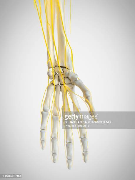 nerves of the hand, illustration - anatomy stock illustrations