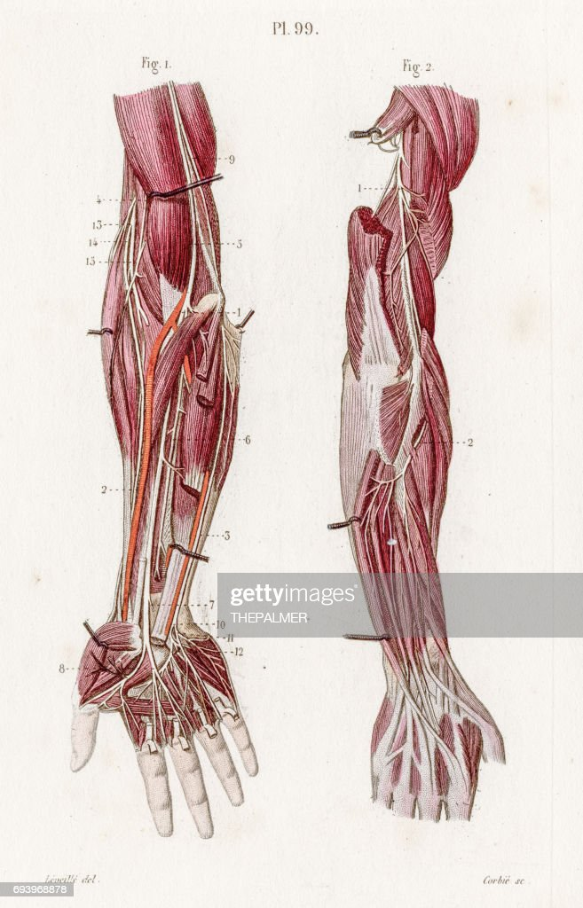 Nerves Upper Limbs Anatomy Engraving 1886 Stock Illustration | Getty ...