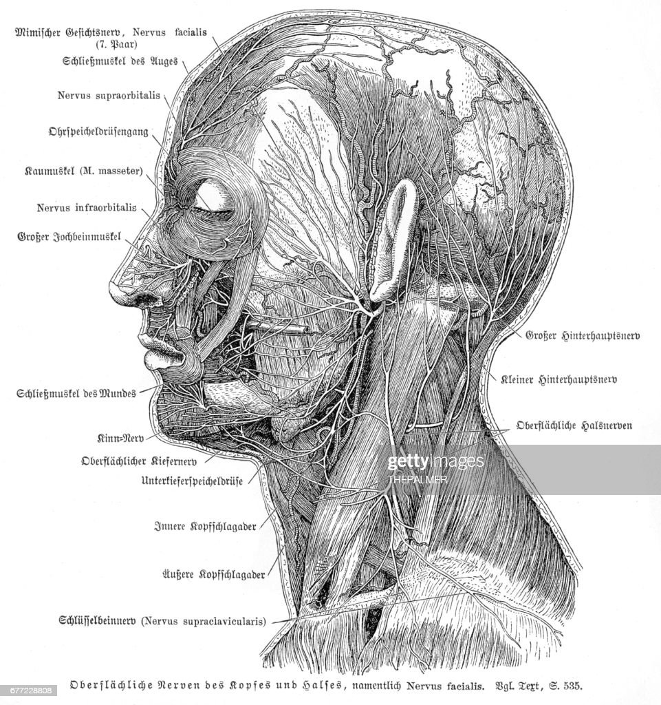 Nervous System Anatomy Engraving 1857 Stock Illustration Getty Images