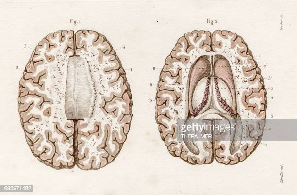 nervous system anatomy engraving 1886 - neuropathy stock illustrations, clip art, cartoons, & icons