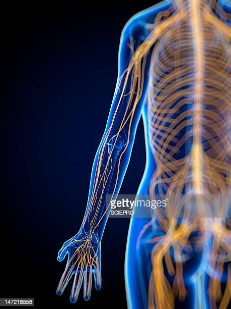 nervous system, artwork - central nervous system stock illustrations, clip art, cartoons, & icons